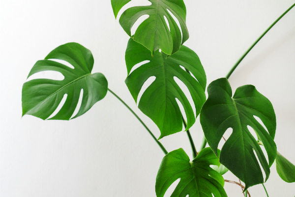 monstera-zimmerpflanze