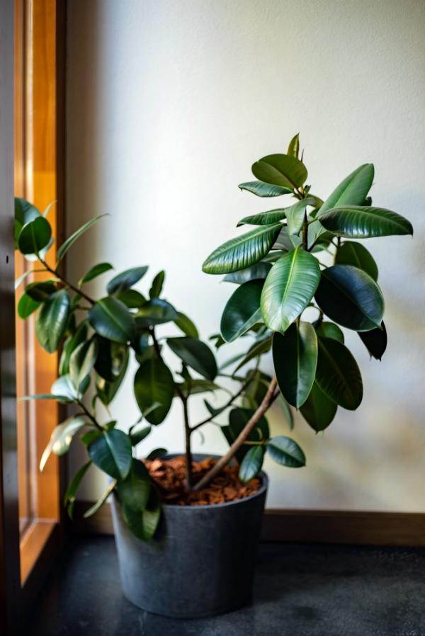 Gummibaum Ficus