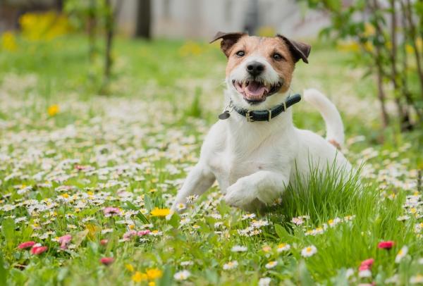 Hund springt durch Wiesen