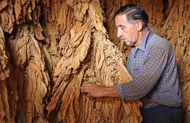 Mann bei der Trocknung von Tabak